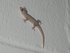 Kauai Geckos