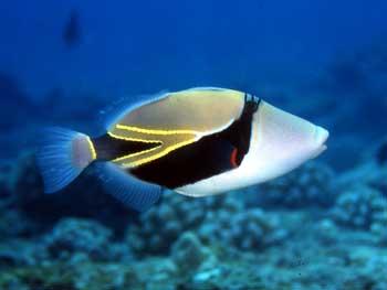 The Hawaiian State Fish
